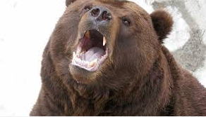 Bear in play